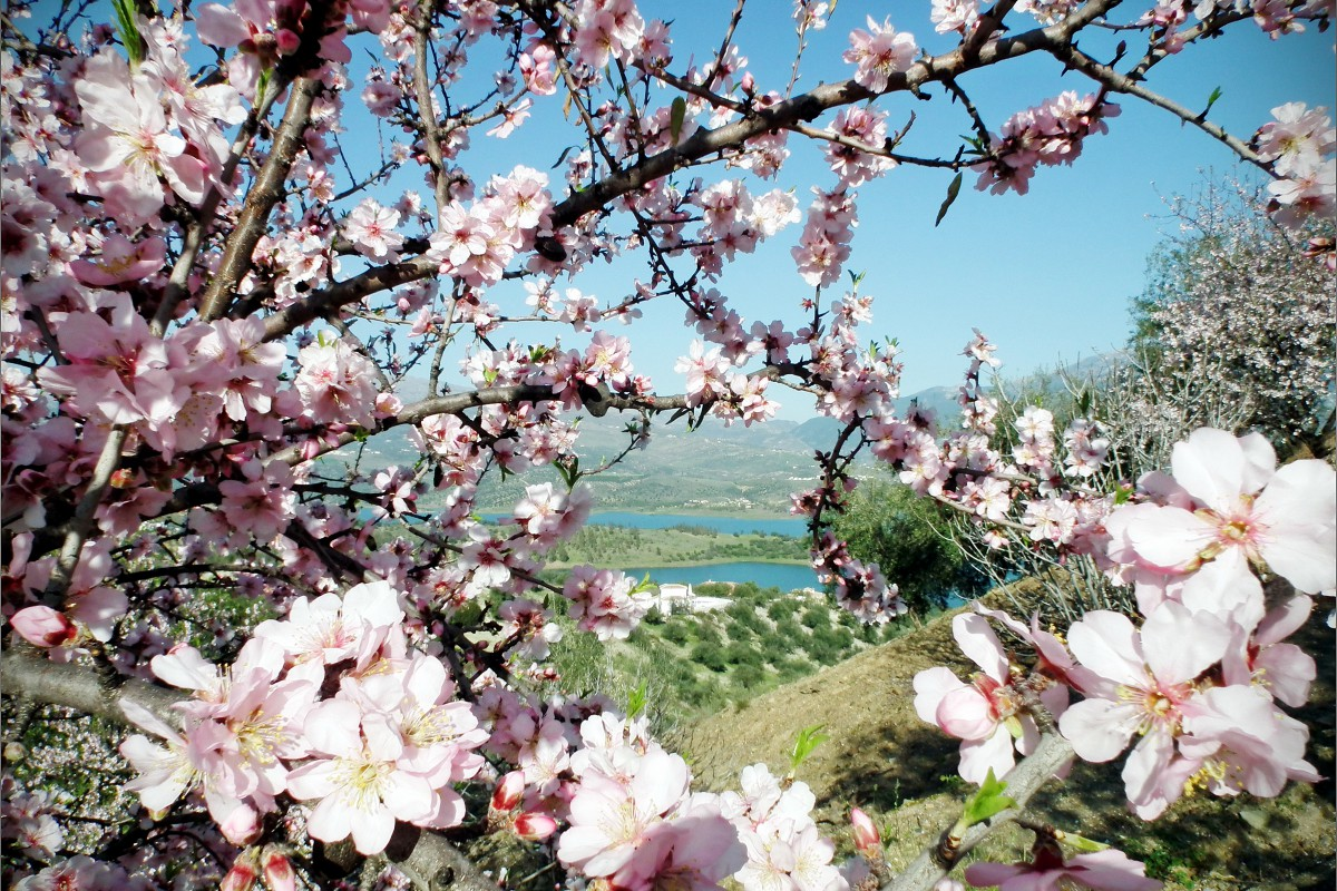 almond-flower-2-1200x800