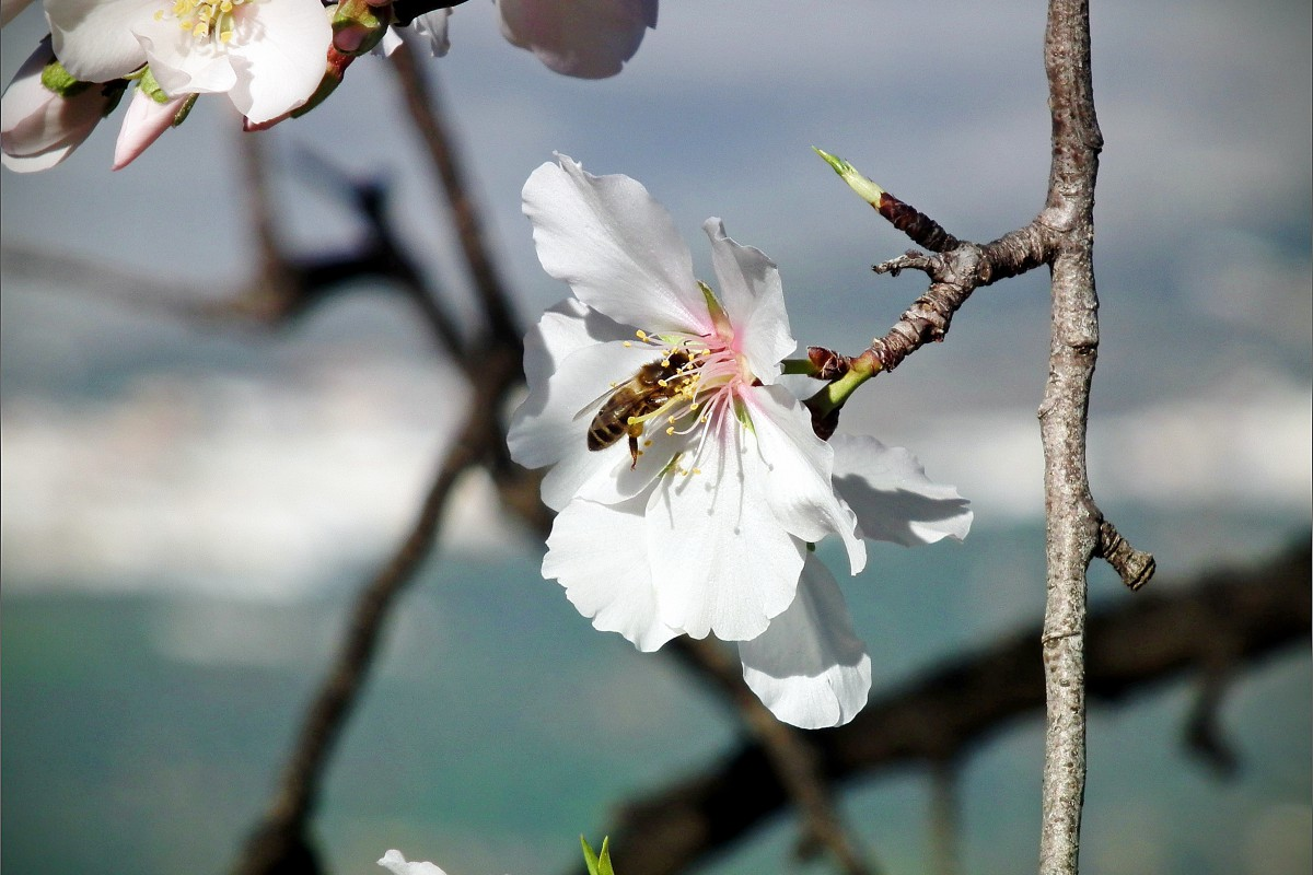 almond-flower-4-1200x800